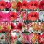 Сеянцы гиппеаструмов(амариллис или комнатная лилия)